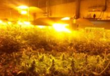 marihuana desmantelan