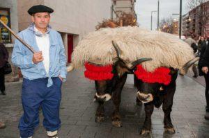 Bueyes en el desfile del Olentzero de Vitoria-Gasteiz