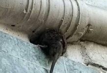Vitoria-Gasteiz llena de ratas. El Ayuntamiento lo reconoce y duplica los tratamientos de desratización