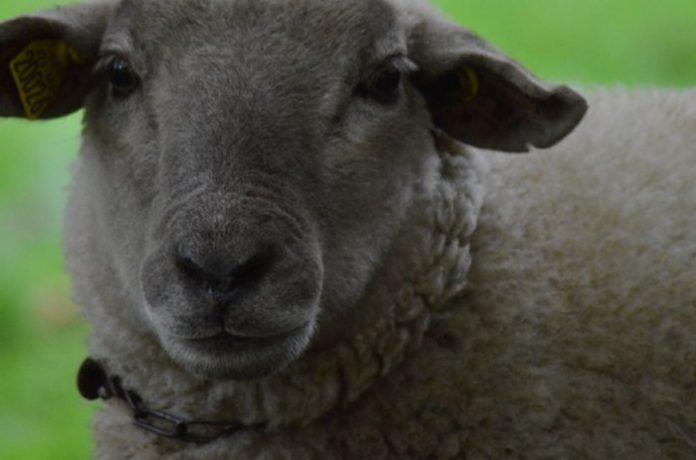 producción ovina