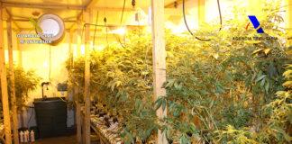 marihuana requisadas plantas
