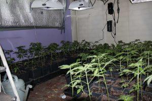 desmantelan marihuana